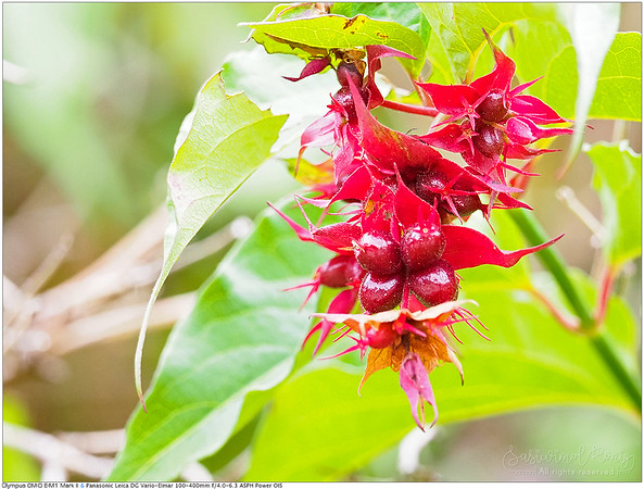 Himalayan Honeysuckle