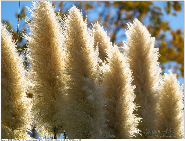 Pampus grass