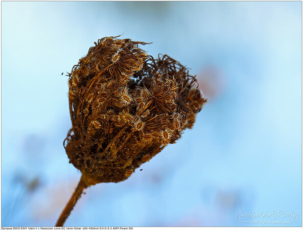 Dried and goodbye ! (Wild carrot?)