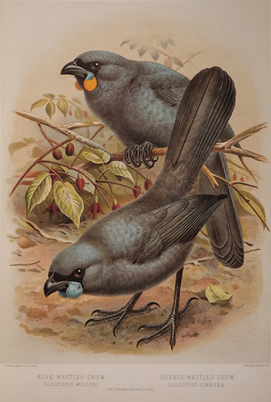 Blue Wattled Crow and Orange Wattled Crow or Kokako illustration from A history of the Birds of New Zealand by Sir Walter Lawry Buller. Published 1888
