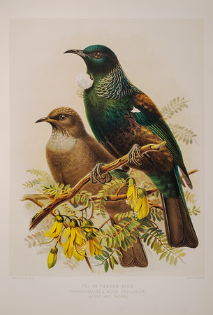 Tui or Parson Bird  from A history of the Birds of New Zealand by Sir Walter Lawry Buller. Published 1888