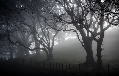 Foggy Trees