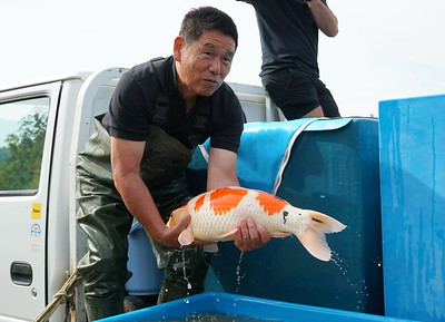 The koi are moved to a truck for transportation to the koi house
