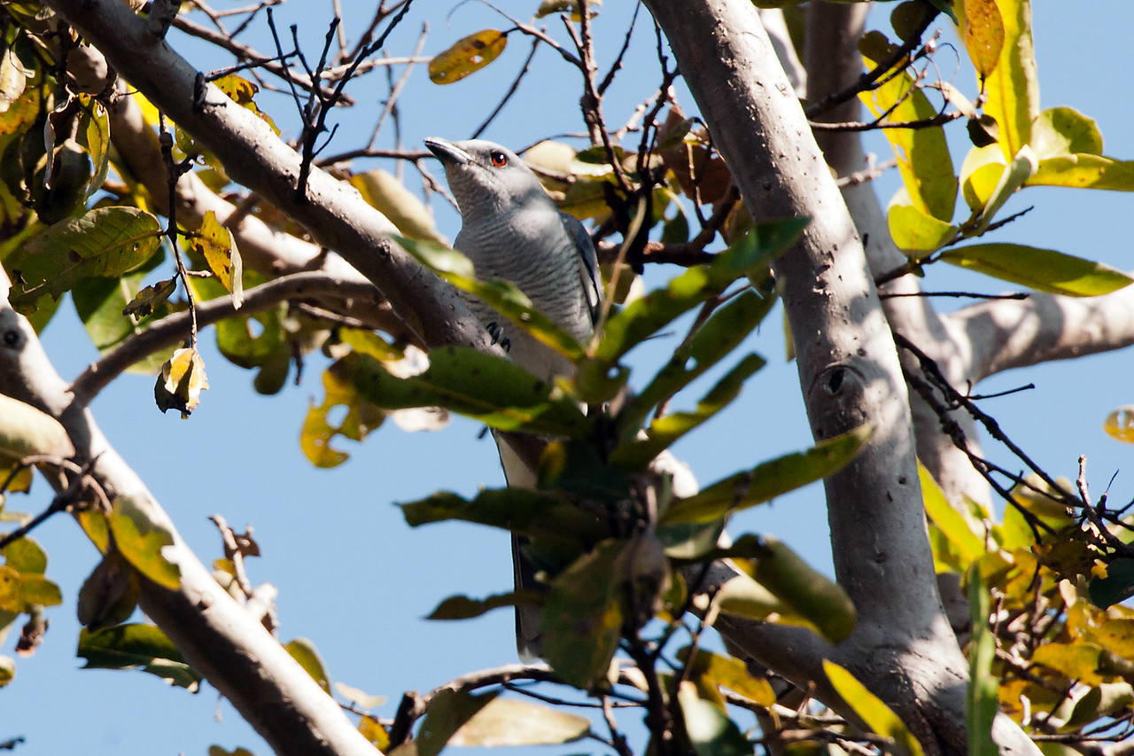 Large Cuckoshrike (f)