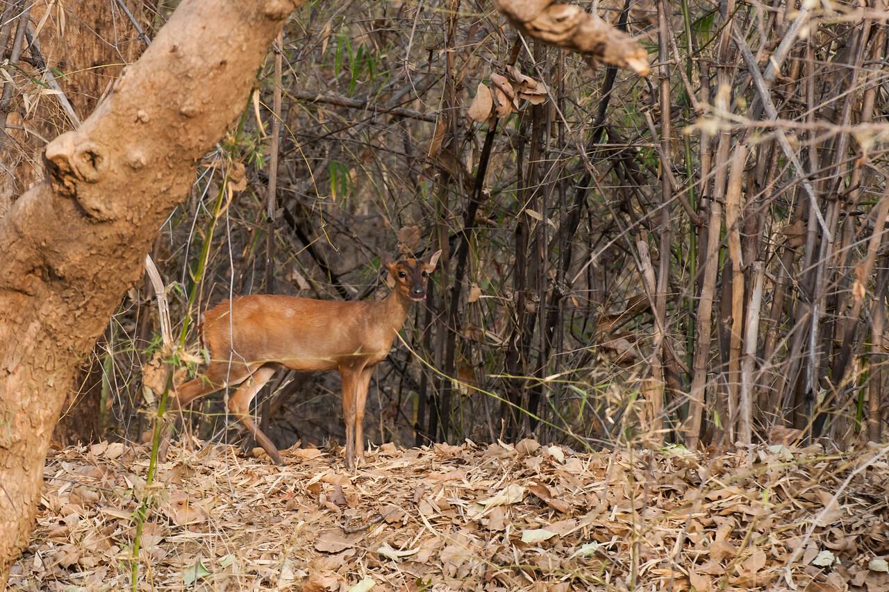 Red Muntjac or Barking Deer (Cervidae: Muntiacus muntjak)