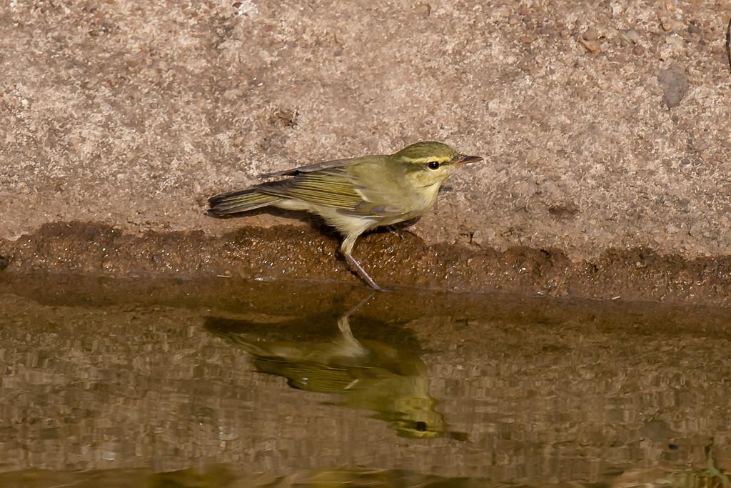 Green Warbler