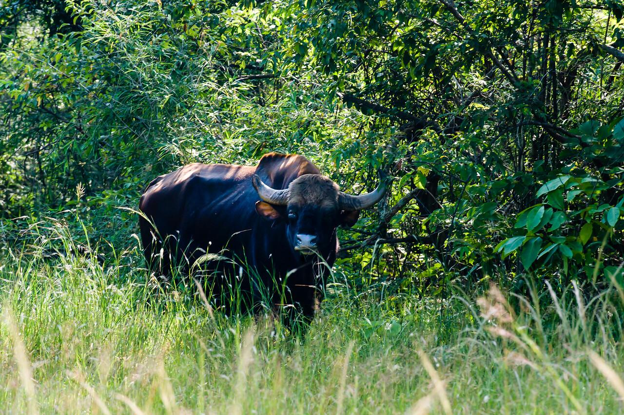 Indian Bison (Gaur)