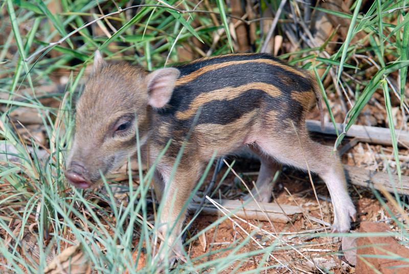 Wild Piglet!