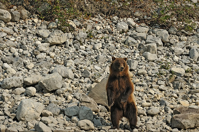 Grizzly Bear (Ursus arctos horribilis) standing on the banks of the South Nahanni River.