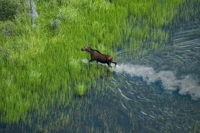 Aerial image of a moose in green grass in a small pond.