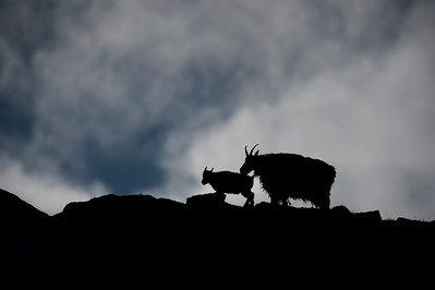 Mountain Goats (Oreamnos Americanus) silhouetted against the clouds, in the Cirque of Unclimbables.