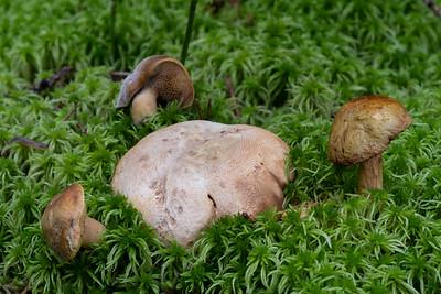 Pseudoboletus parasiticus - suchohríb cudzopasný