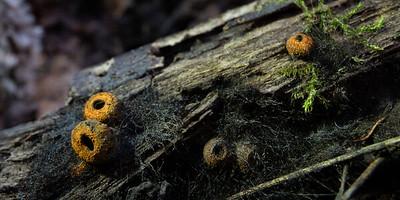 Plectania melastoma - pakorienkovka čierna