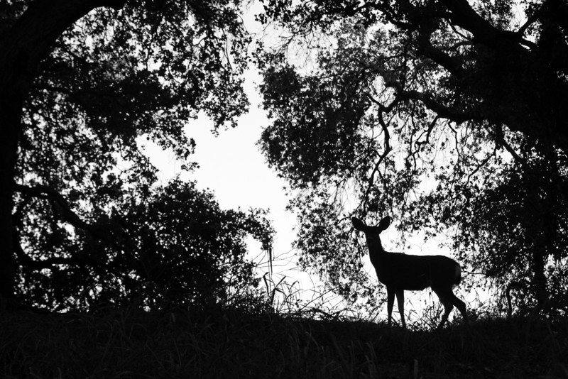 Doe and Oaks California 2011