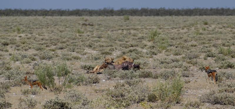 Lions with wildebeest carcass, Etosha National Park