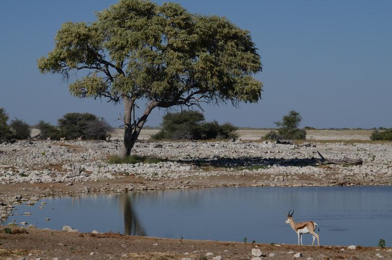 Springbok at Okaukuejo Water Hole, Etosha National Park