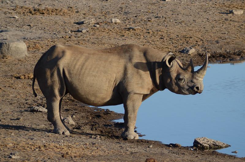 Black Rhinoceros, Chudop Water Hole, Etosha National Park