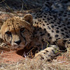 Cheetah, Okonjima Nature Reserve (Africat)