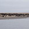 Cape Fur Seals, Pelican Point, Walvis Bay