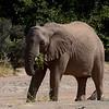 Desert Elephant, Aba-Huab Riverbed, Damaraland