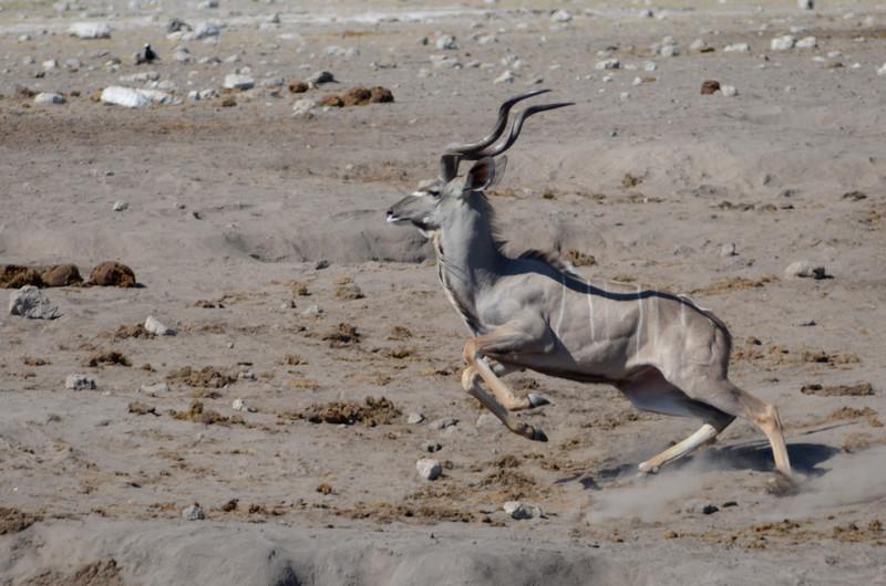 Kudu, Klein Okevi Water Hole, Etosha National Park