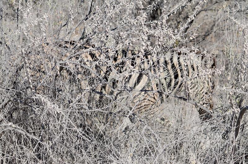 Camouflaged zebra, Etosha National Park