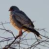 Southern Pale Chanting Goshawk, Onguma Game Reserve