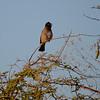 African Red Eyed Bulbul, Etosha National Park