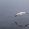 Pelican, Walvis Bay