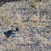 Northern Black Korhaan, Etosha National Park