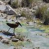Hamerkop, Salvadora Water Hole, Etosha National Park
