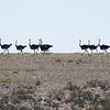 Ostrich parade, near Kasieb Canyon