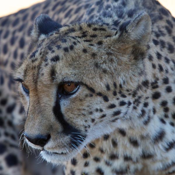 cheetah at Keetmanshoop 2014-03-12 at 15-03-09