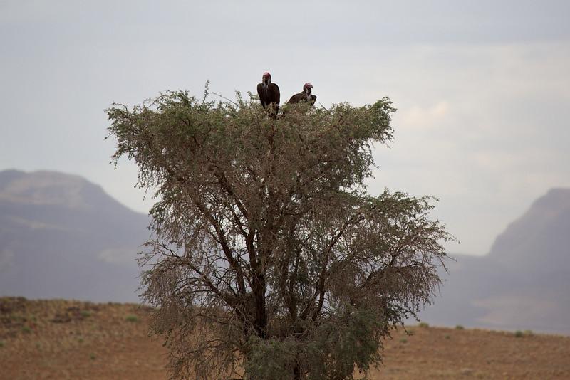 lappet-faced vultures 88352014-03-16MV0A0811
