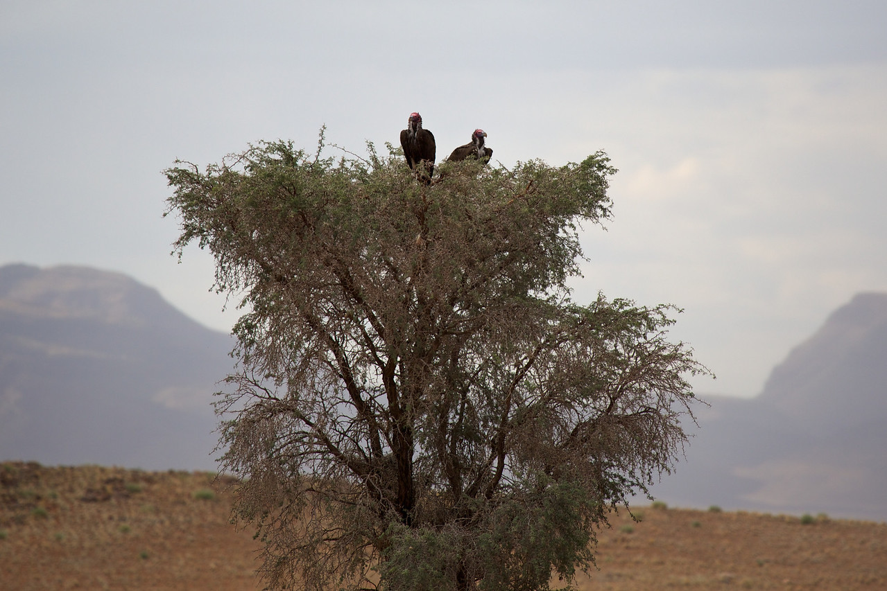 lappet-faced vultures 88352014-03-16MV0A0811