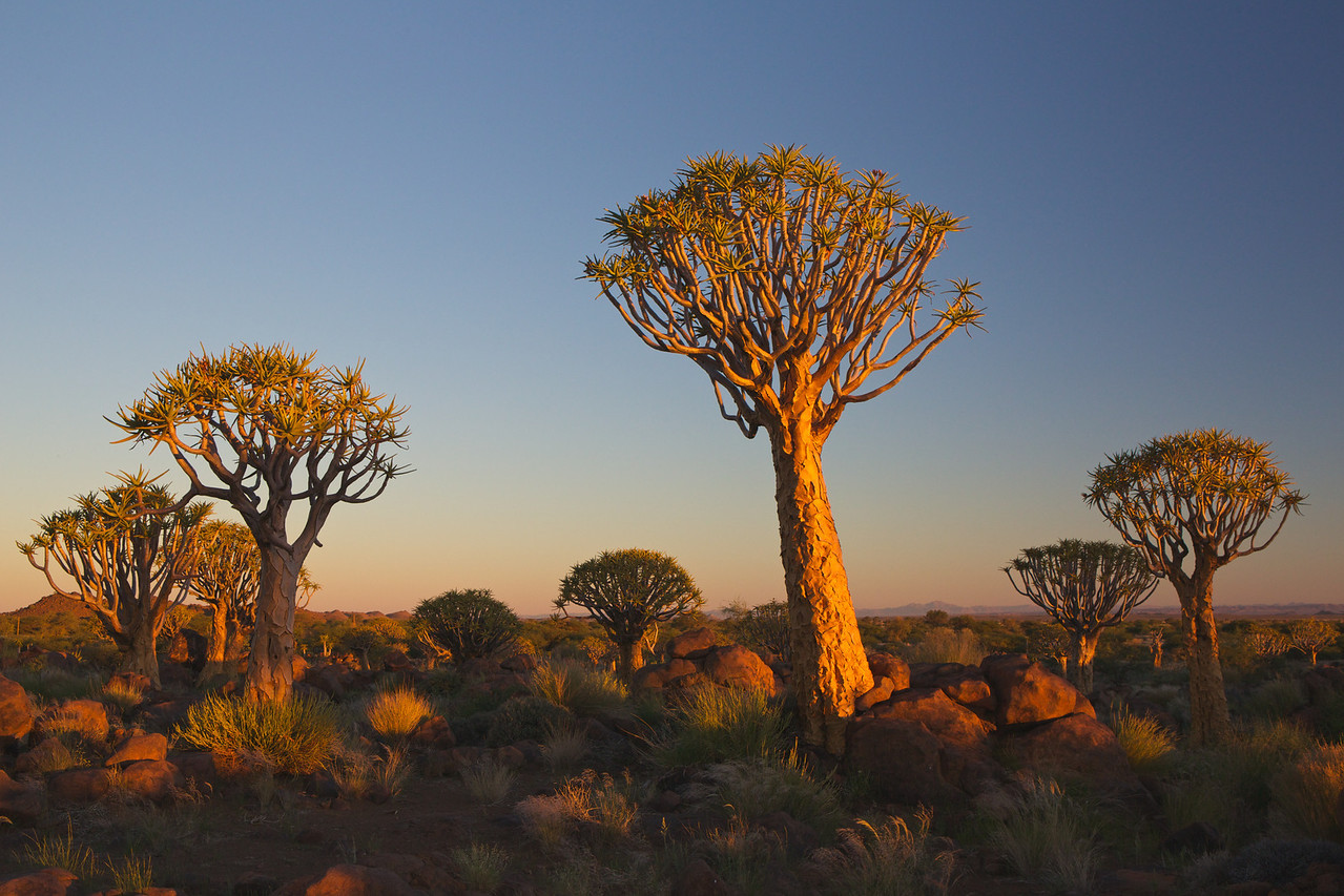 quiver trees at Keetmanshoop 2014-03-12 at 16-58-32