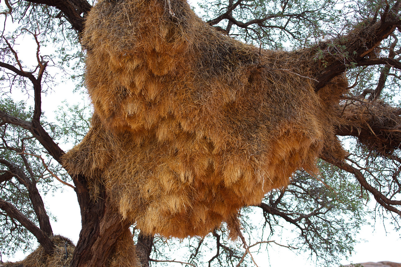 namibia,  sociable weaver nest