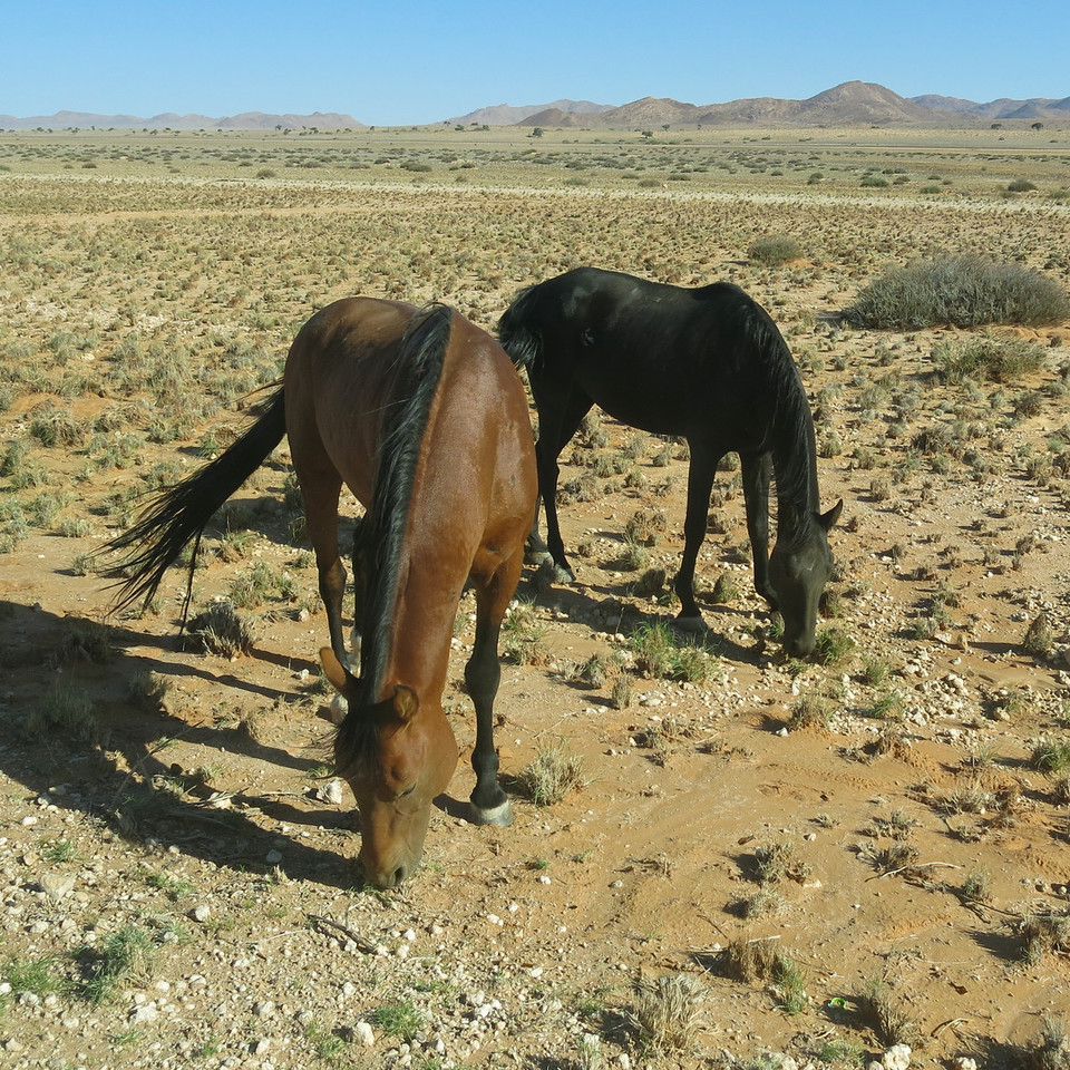 wild horses of the Namib desert 2014-03-13 at 15-55-57