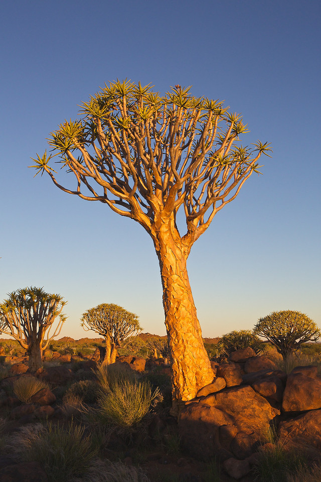 quiver trees at Keetmanshoop 2014-03-12 at 16-51-41