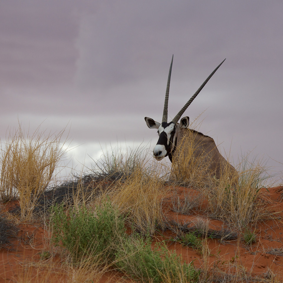 oryx at wolwedans 2014-03-16 at 15-13-18