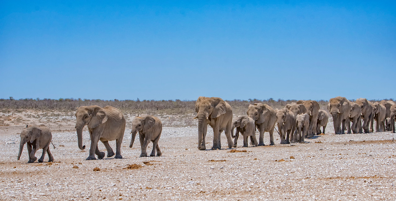 Elephant_herd-marching_to_waterhole_NBA_4428