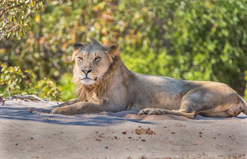 Male lion profile_NBA_7398