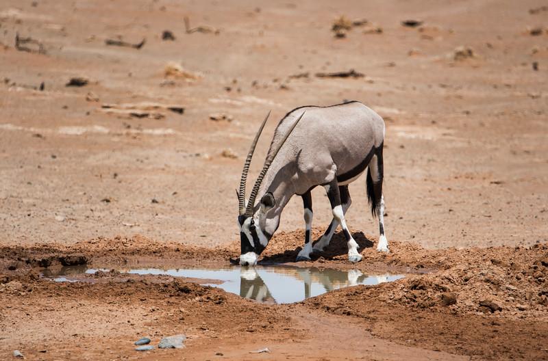 Oryx drinking_NBA_6108