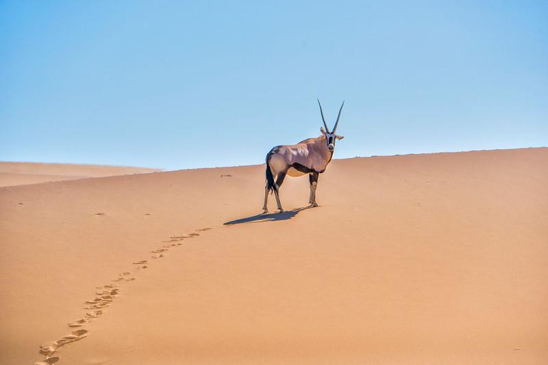 Oryx on dunes_NBA_7271