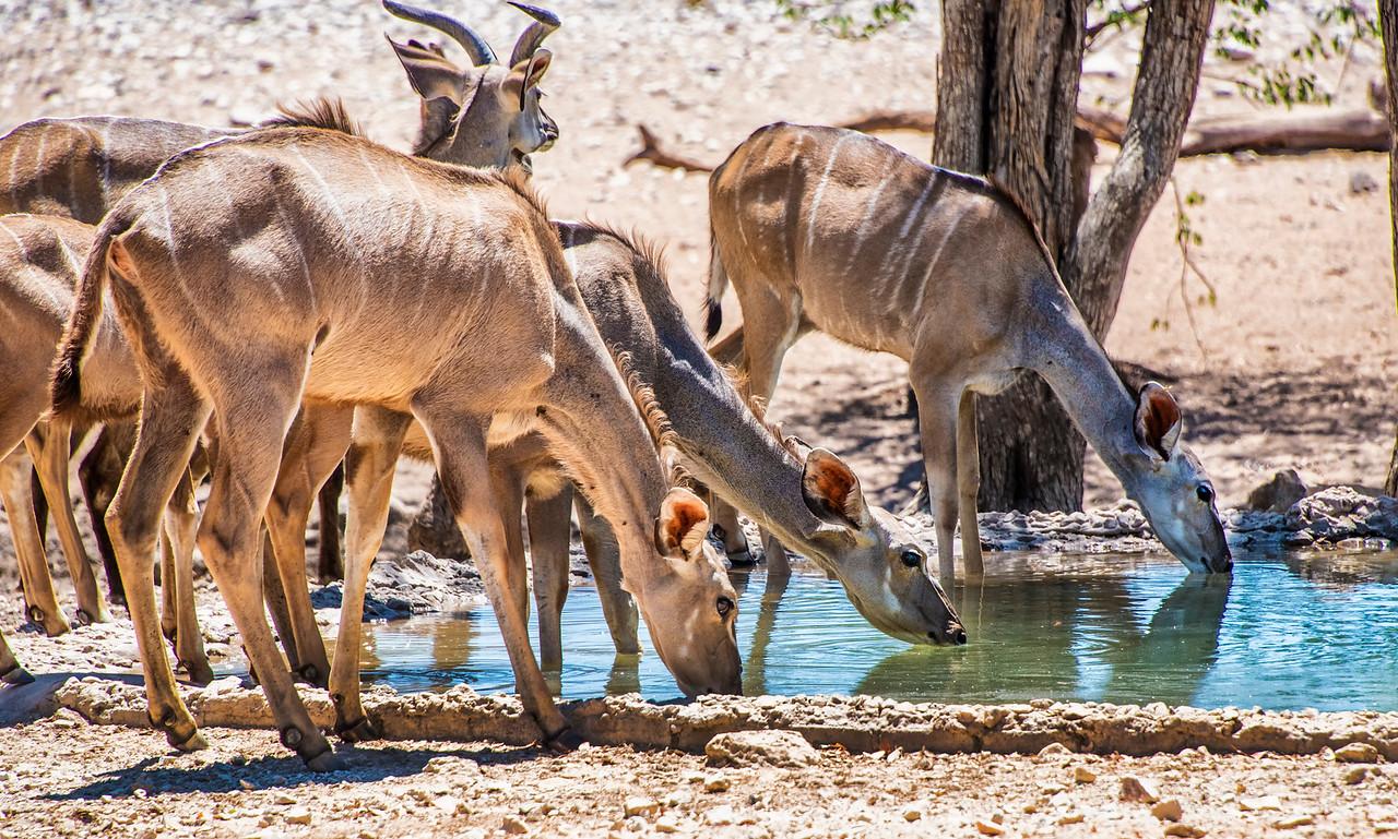 Kudu females-drinking at water hole_NBA_3711
