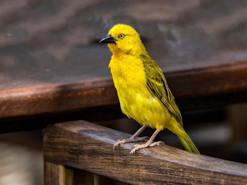 S_African Yellow Weaver_NBA_8875