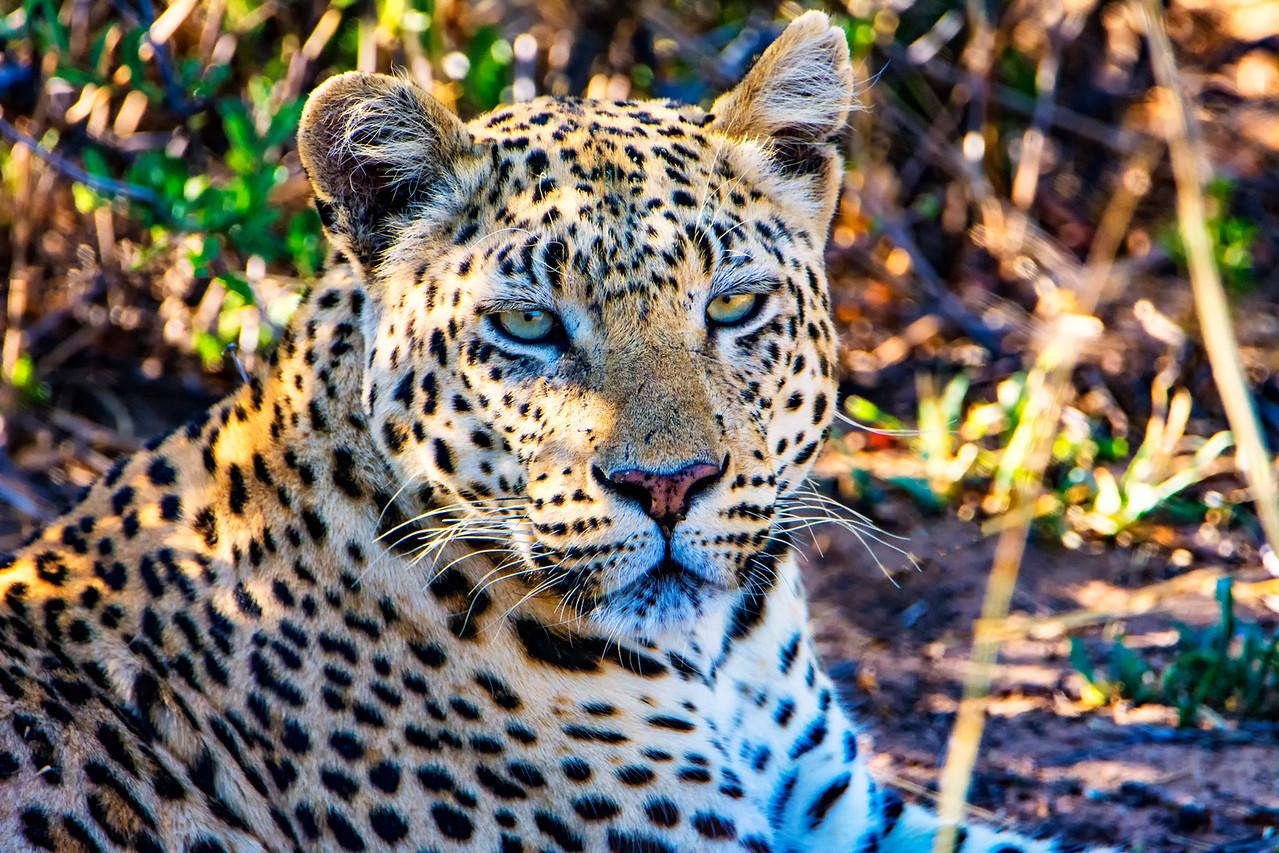 LeopardPortrait_NBA_5997