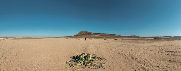 Mecum Crater, Welwitschia desert plant