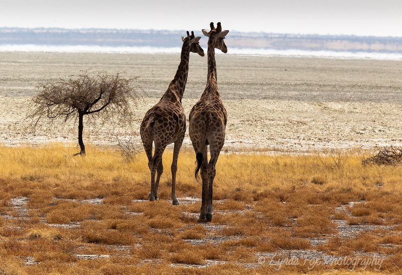 Two Giraffes Walking