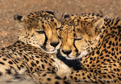 Cheetahs Bonding